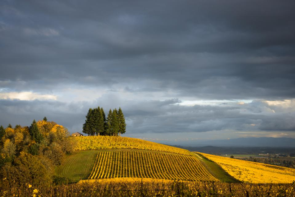 Vineyards in autumn in Willamette Valley Oregon under clouds
